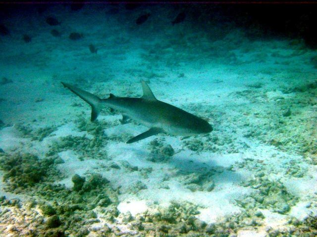 Galapagos shark (Carcharinus galapagensis). Picture