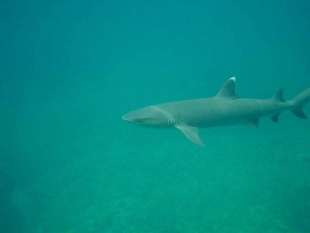 A white-tip shark (Triaenodon obesus) Picture