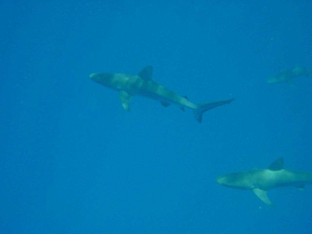 Gray reef sharks (Carcharinus amblyrhynchos). Picture