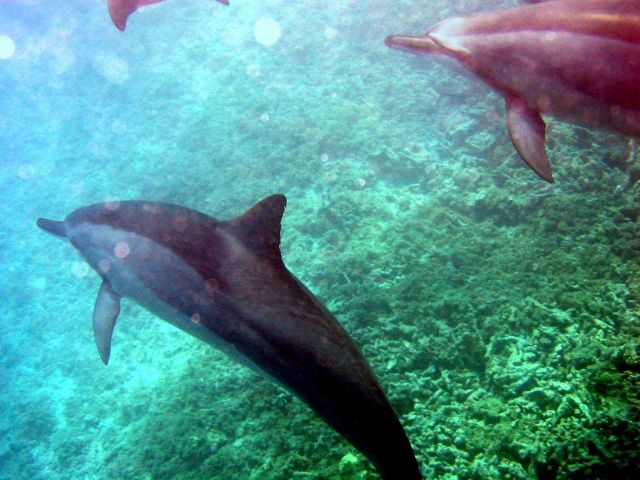 Spinner dolphins (Stenella longirostris) as seen while being towed during debris operations. Picture