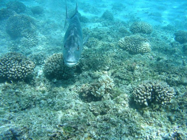 An ulua head-on Picture