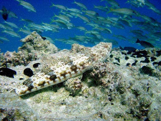 A lizardfish. Picture