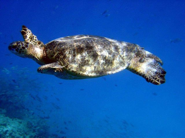 A green sea turtle (Chelonia mydas). Picture