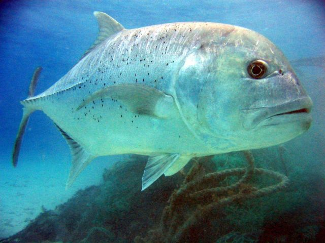 Giant trevally (Caranx ignobilis) Picture