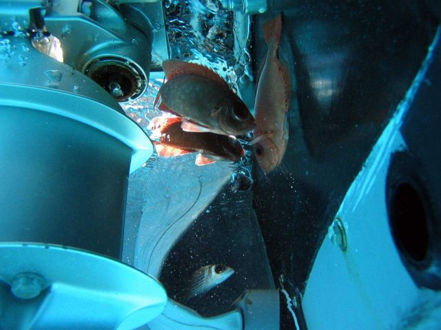 Bigeye on top and squirrelfish on bottom inspecting zodiac outboard engine during debris cleaning operation. Picture