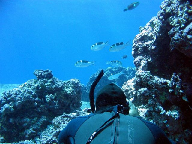 Snorkeler photographing bigeye emperor (Monotaxis grandoculis) Picture