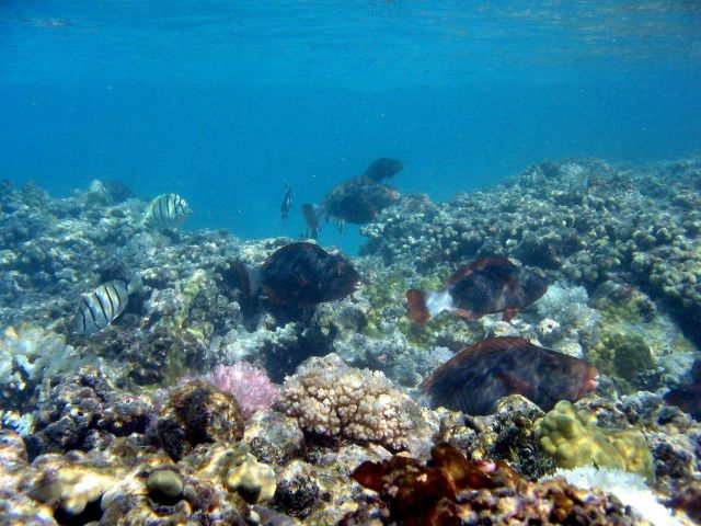 Reef fish including convict tang and bullethead parrotfish. Picture