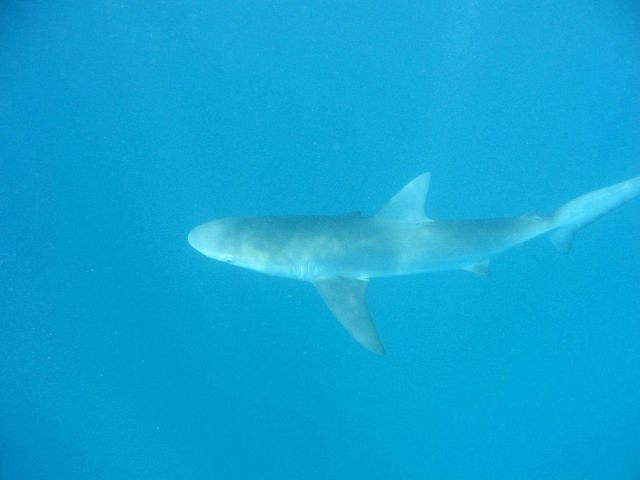 Gray reef shark (Carcharinus amblyrhynos). Picture