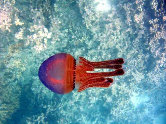 A red jellyfish. Picture