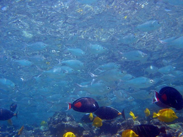 Yellow tang (Zebrasoma flavescens), black Achilles tang (Acanthurus achilles), and chub (species indeterminate) Picture