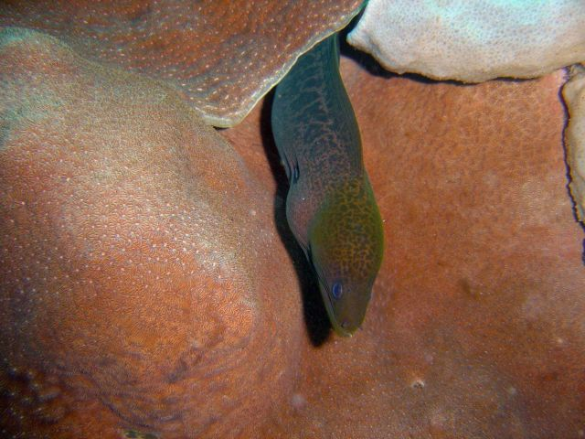 Giant moray eel (Gymnothorax javanicus) on Fujikawa Maru. Picture