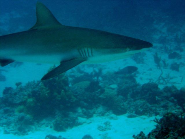 Gray reef shark (Carcharhinus amblyrhynchos). Picture