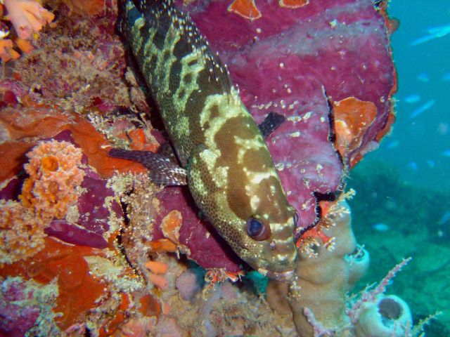 Grouper (Epinephelus sp.) on Fumitsuki Maru. Picture