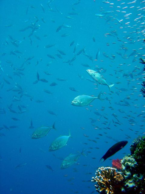 Trevally on the Sankisan Maru. Picture
