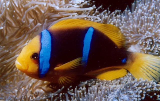 Orange-fin anemonefish (Amphiprion chrysopterus). Picture