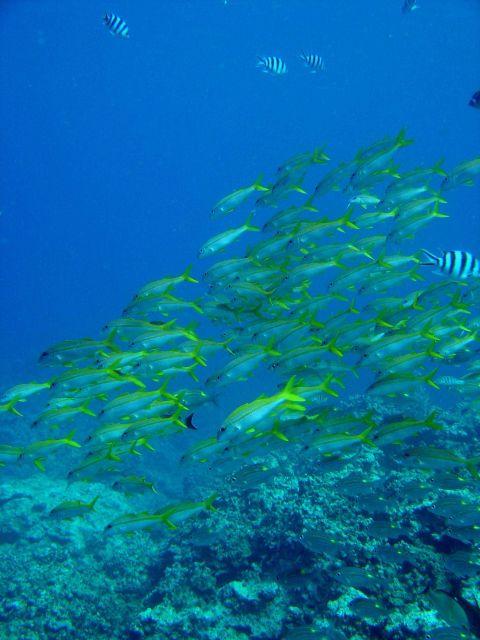 Yellowfin goatfish (Mulloidichthys vanicolensis) Picture