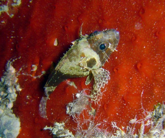 Small scorpionfish? Picture