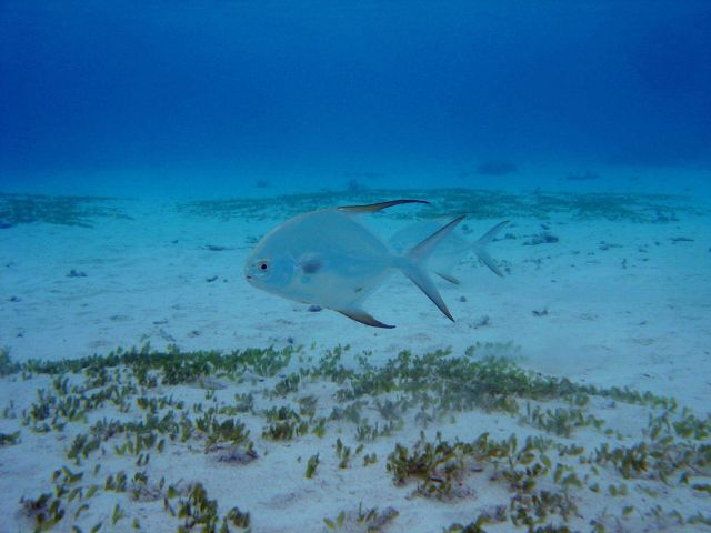 Pompano (Banner? African young?) Picture