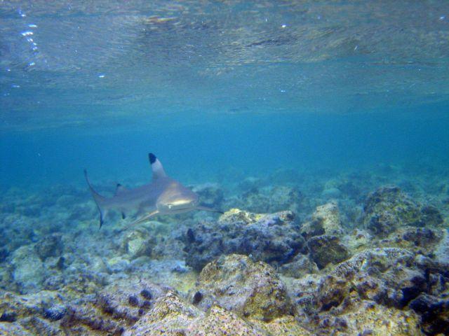 Blacktip reef shark (Carcharhinus melanopterus) Picture