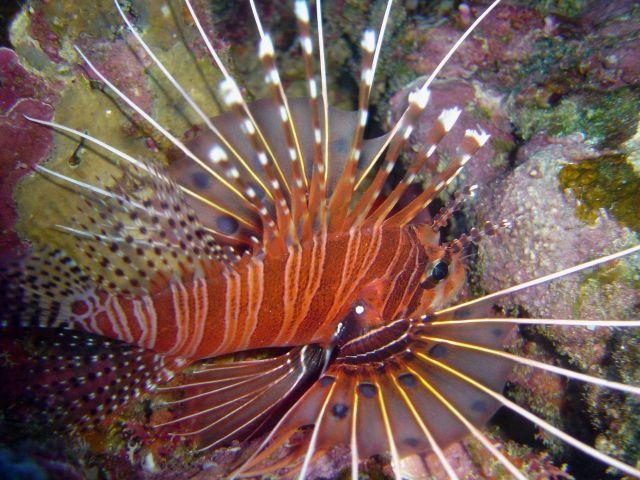 Spotfin lionfish (Pterois antennata) Picture