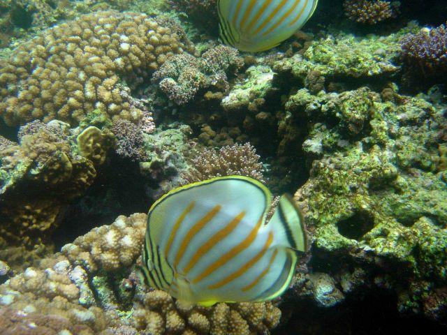 Ornate butterflyfish (Chaetodon ornatissimus) Picture