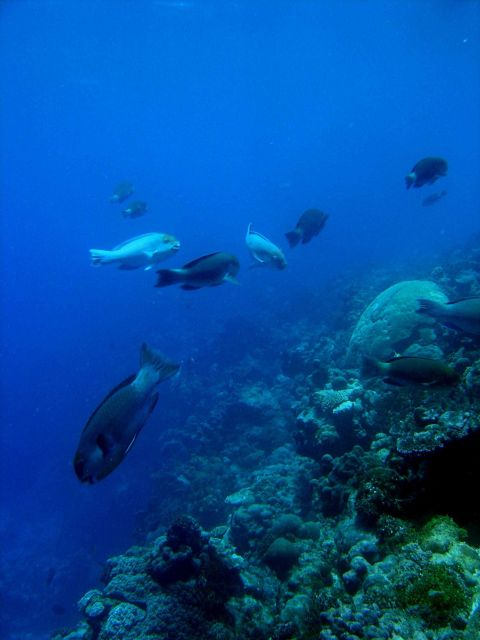 Reef scene with parrotfish. Picture