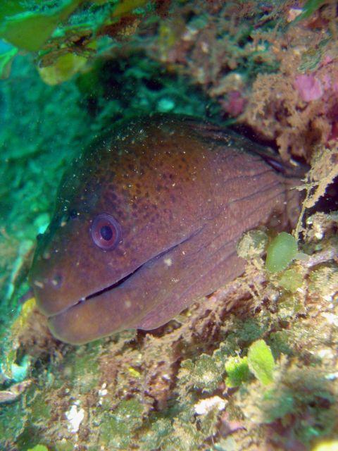 Yellowmargin moray eel (Gymnothorax flavimarginatus) Picture