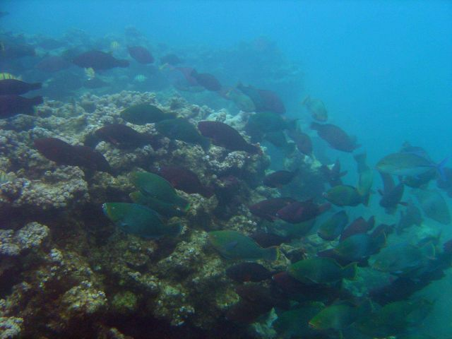 An aggregation of bullethead parrotfish (Chlorurus sordidus) Picture