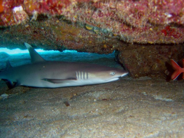 Whitetip reef shark (Triaenodon obesus) Picture