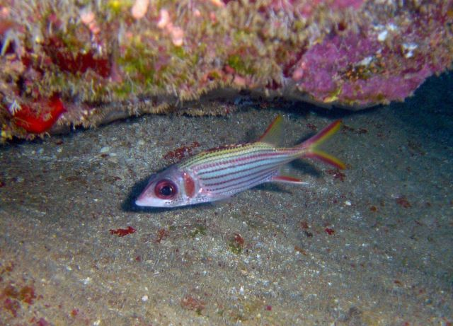 Spotfin squirrelfish (Neoniphon sammara). Picture