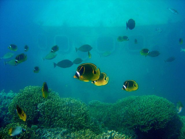 Raccoon butterflyfish (Chaetodon lunula). Picture
