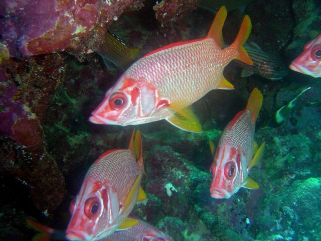 Sabre squirrelfish (Sargocentron spiniferum). Picture
