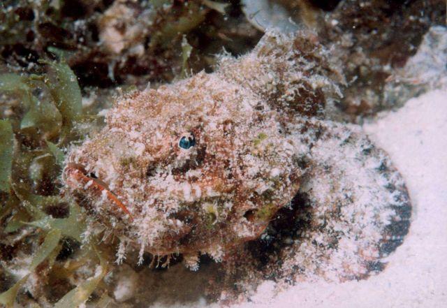 Leaf scorpionfish - reddish brown variation (Taenianotus triacanthus) Picture
