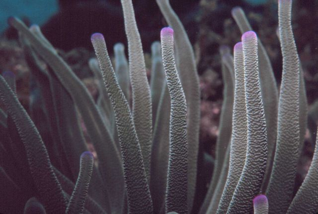 Pink-tipped anemone (Condylactis gigantean) Picture