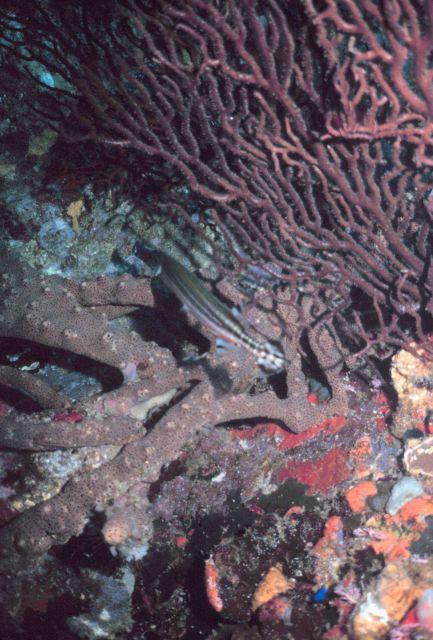 Trumpet fish - Aulostomus maculatus Picture