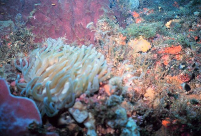 A reef scene with a large anemone in the left foreground Picture