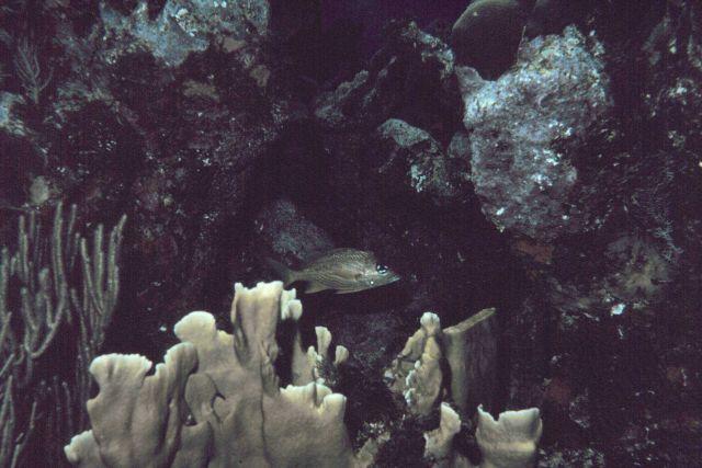 White grunt (Haemulon plumieri) Picture