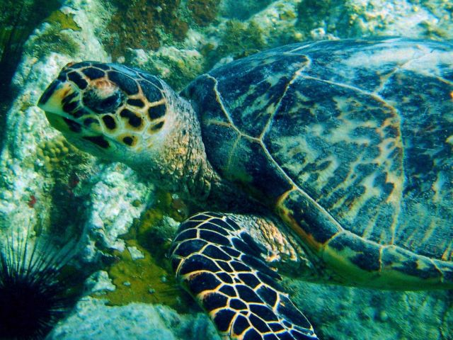 Adult hawksbill turtle. Picture