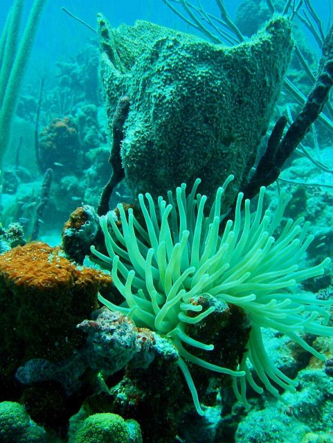 Giant Caribbean anemone, barrel sponge, and encrusting sponge. Picture
