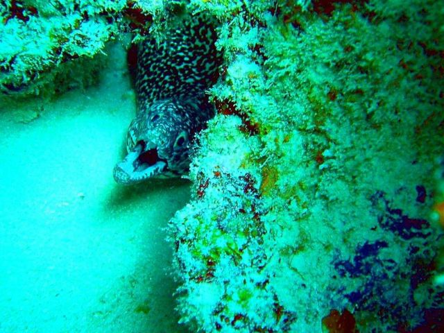 Juvenile spotted moray eel (Gymnothorax moringa) Picture
