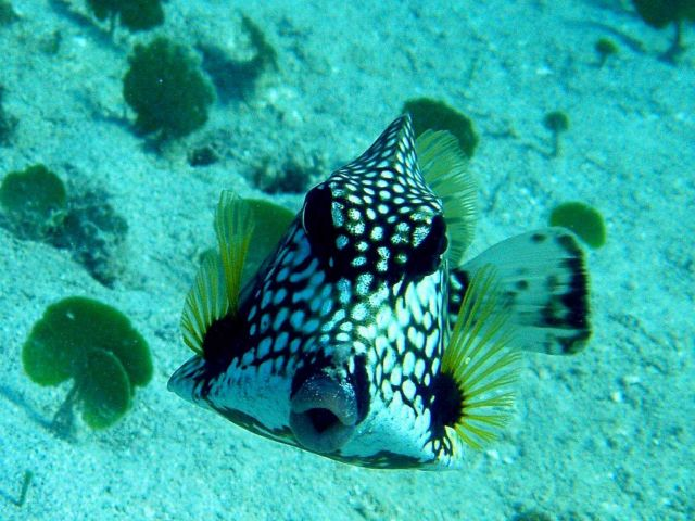 Smooth trunkfish. Picture