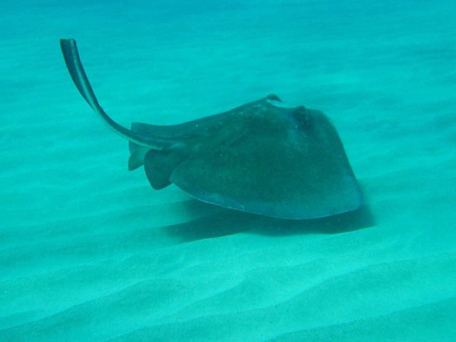 Southern Stingray. Picture