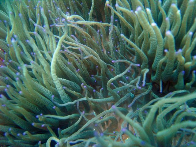 Sea anemone (Heteractis sp.) Picture