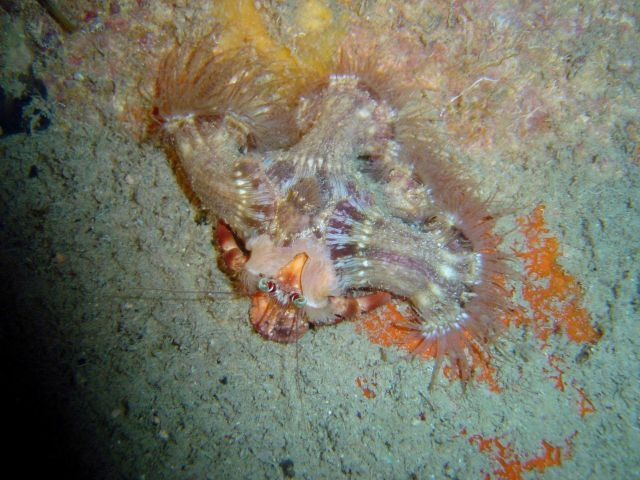 Sea anemones attached to a living crab carapace Picture