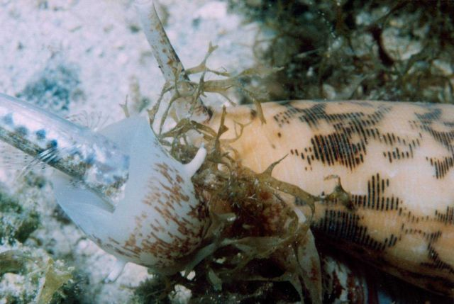 Cone shell ingesting a small fish Picture