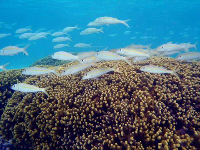 Reef scene with school of goatfish (Mulloidicthys sp.) Picture