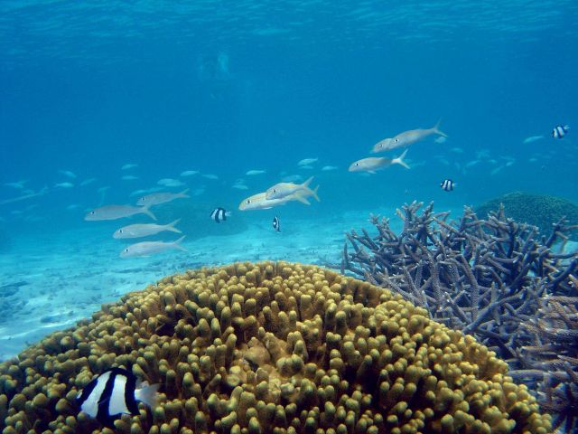 Reef scene with school of goatfish (Mulloidicthys sp.) and damselfish (Dascyllus aruanus) in left foreground. Picture