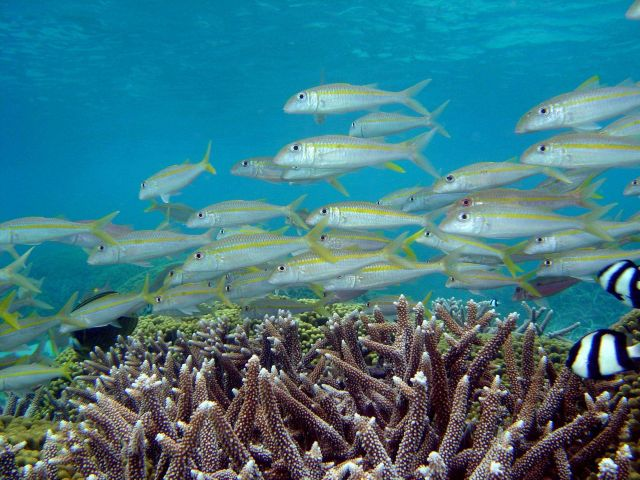 Reef scene with school of goatfish (Mulloidicthys sp.) and damselfish (Dascyllus aruanus) in right foreground. Picture