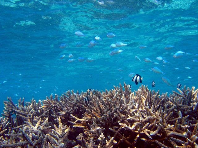 Reef scene with humbug damselfish (Dascyllus aruanus) just above coral and unknown type of schooling damselfish higher in water column. Picture