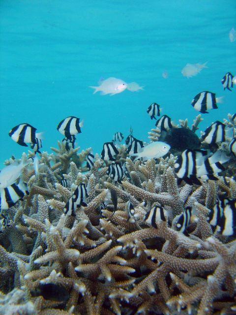 Reef scene with damselfish (Dascyllus aruanus). Picture